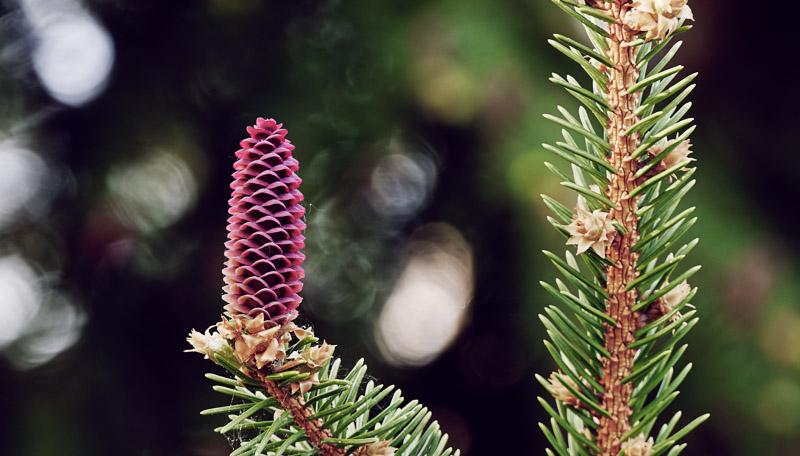 Fleur d'épinette de Norvège